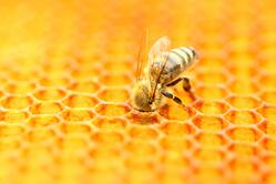 honeybees lesson plan for science
